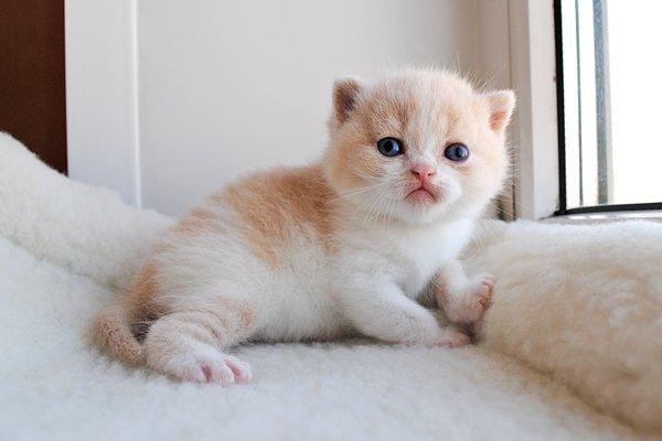 Британский рыжий котенок