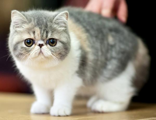 Котенок породы экзот в полный рост