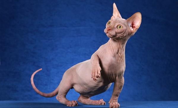 Лысый котенок крупным планом