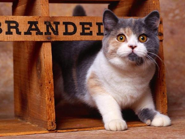 Породистый котенок крупным планом