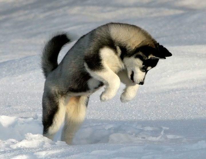 Собака скачет на снегу