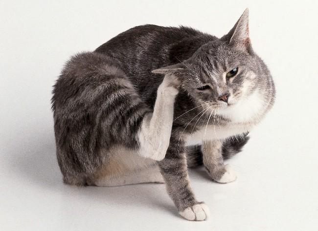 Котик чешет ушко