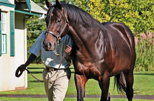 Лошадь скаковая крупным планом