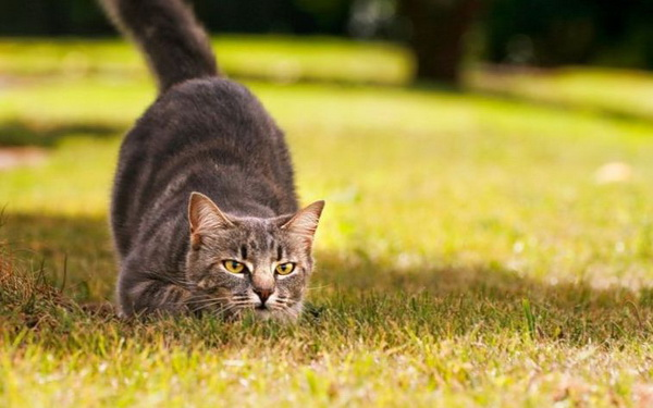 Кот во время охоты