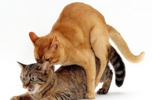 Соитие кошек