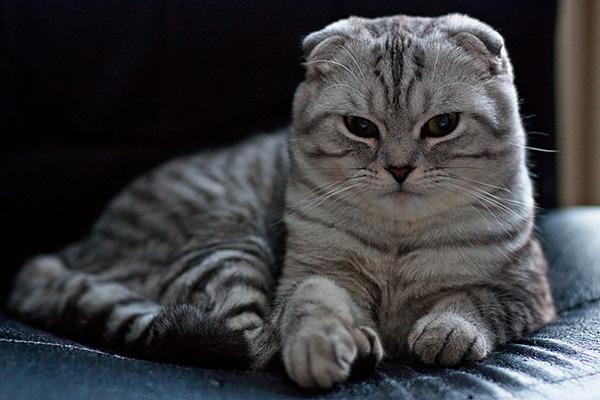Полосатая вислоухая кошка