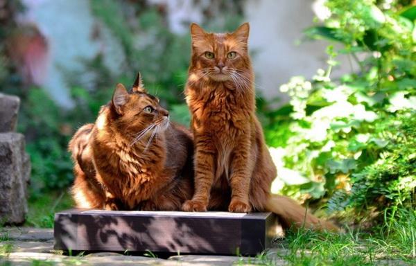 Сомалийские коты
