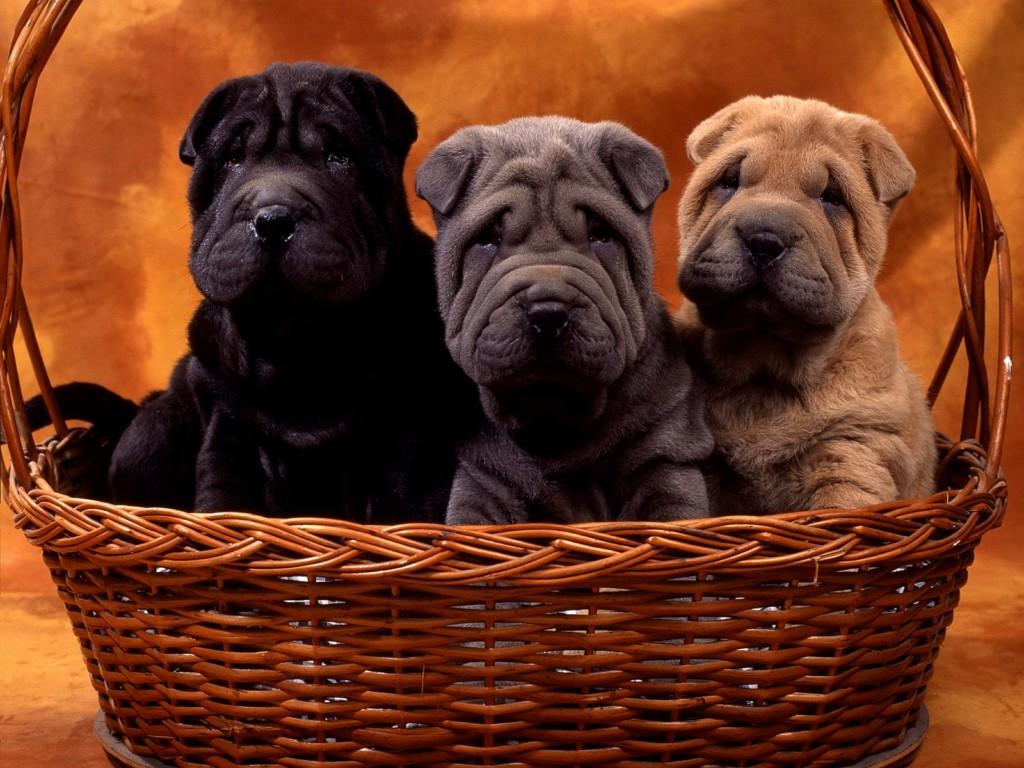 Три щенка шарпея