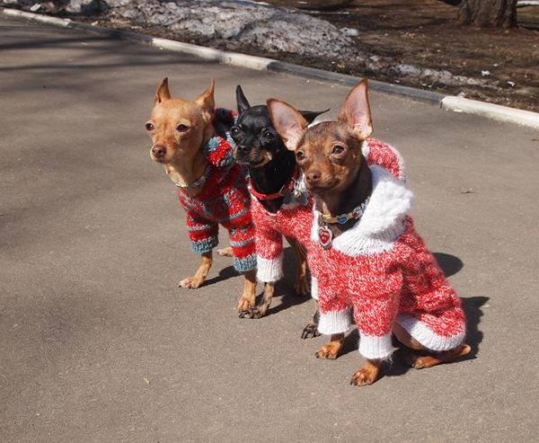 Три собачки в комбинезонах на прогулке