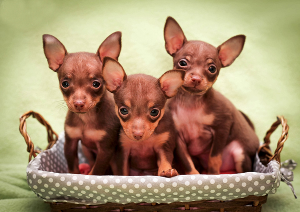 Маленькие щенята сидят в корзинке