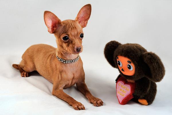 Собачка той и игрушка Чебурашка