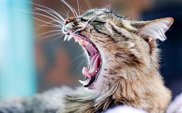 Кот зевает и лежит на улице