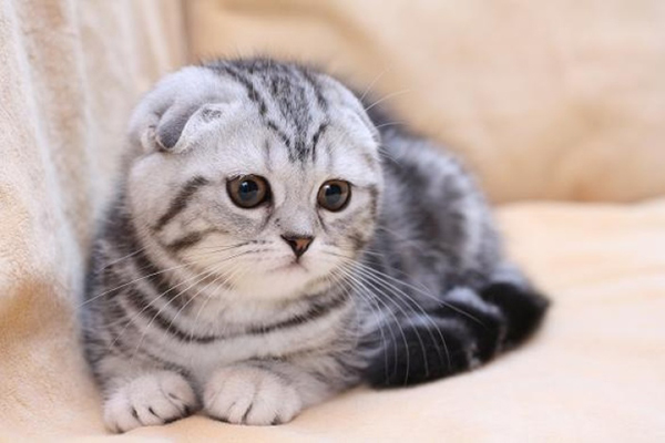 Пухлый серый кот