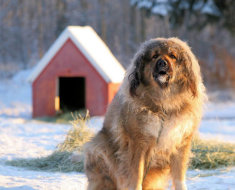 Взрослая собака у будки
