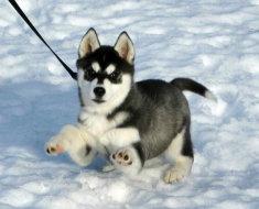 Крохотный щенок прогуливается по снегу