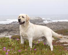 Палевый окрас собаки