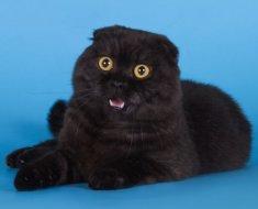 Черная вислоухая кошка