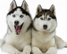 Две веселые собаки