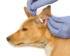Врач чистит ухо собаке