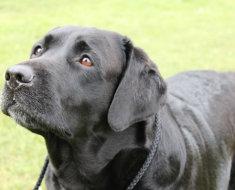 Черный окрас собаки