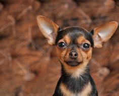 Голова собачки