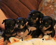 Четыре щенка мини пинчера