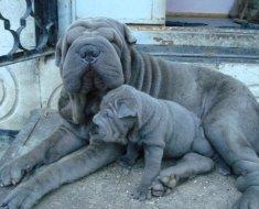Взрослый голубой шарпей со своим щенком