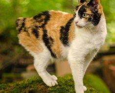 Бесхвостая порода котов