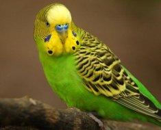 Светло-зеленый волнистый попугай