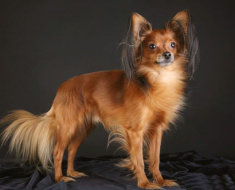 Собака с длинной шерстью
