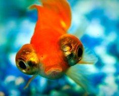 Мордочка рыбки - телескопа