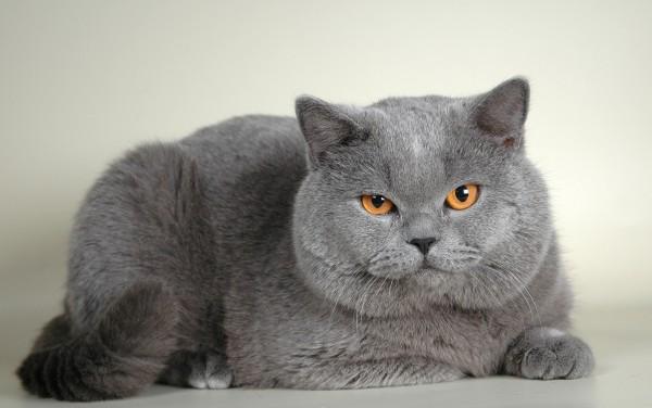 фото британской короткошерстной кошки