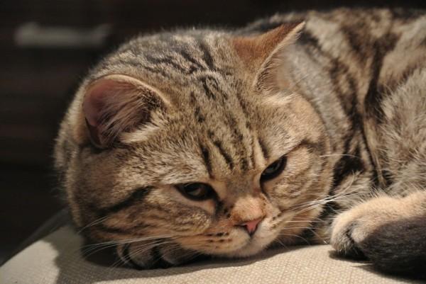 фотка грустного британского короткошёрстного кота