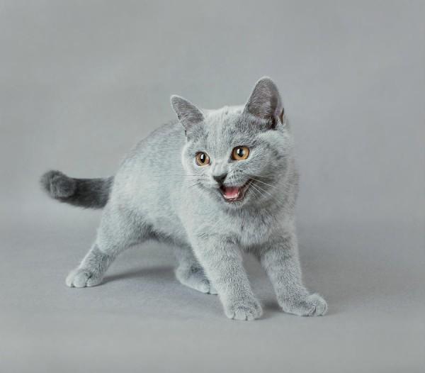 фото серого котёнка-британца