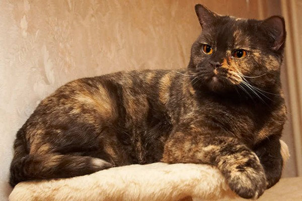 британский кот черепахового окраса