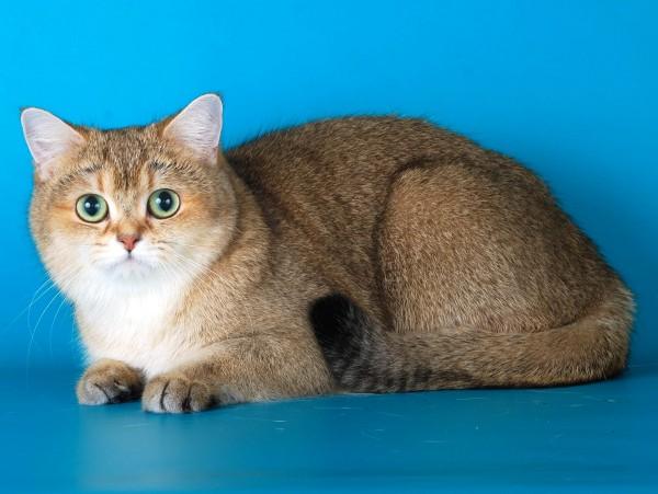 британский короткошёрстный кот с типированным окрасом