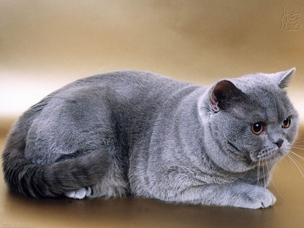 Серая и очень красивая британская короткошёрстная кошка