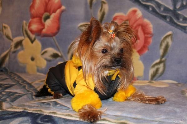 йоркширский терьер в жёлтом наряде фото