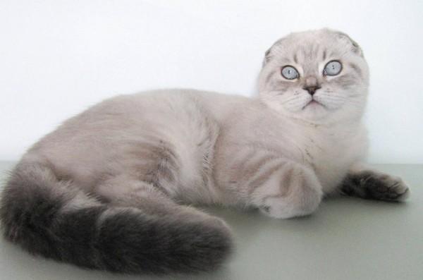 ухоженная шотландская вислоухая кошка фото