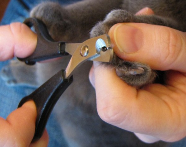 обрезание когтей кошке фото