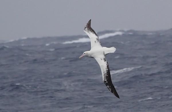 Странствующий альбатрос в полёте