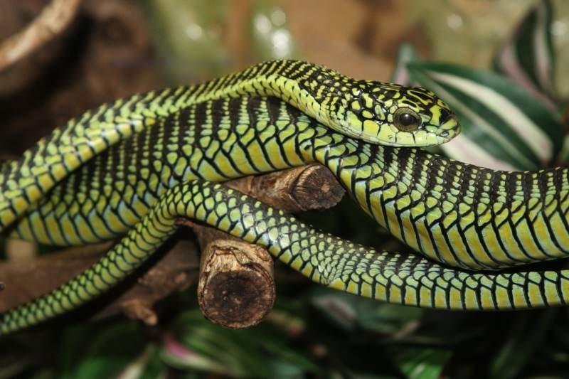 Самая опасная змея африки