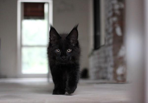 окрас черный солид мейн-кун фото