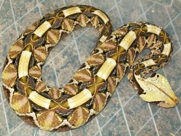 Габон Viper