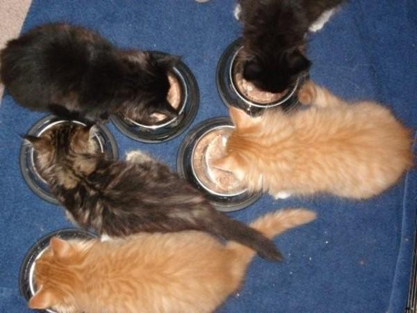 котята мейн-куна едят из мисок фото