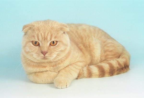 Рыжий шотландский вислоухий кот