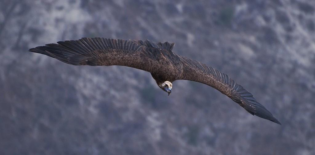 Черный гриф в полете
