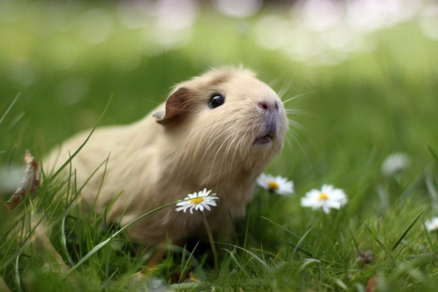 Милая морская свинка в траве