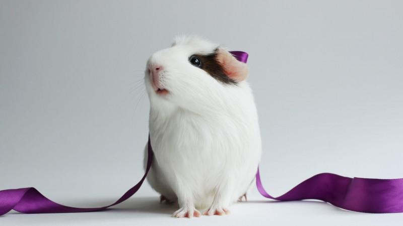 Морская свинка с фиолетовой лентой