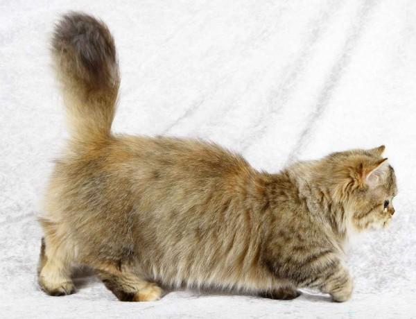 Порода кошек наполеон фото